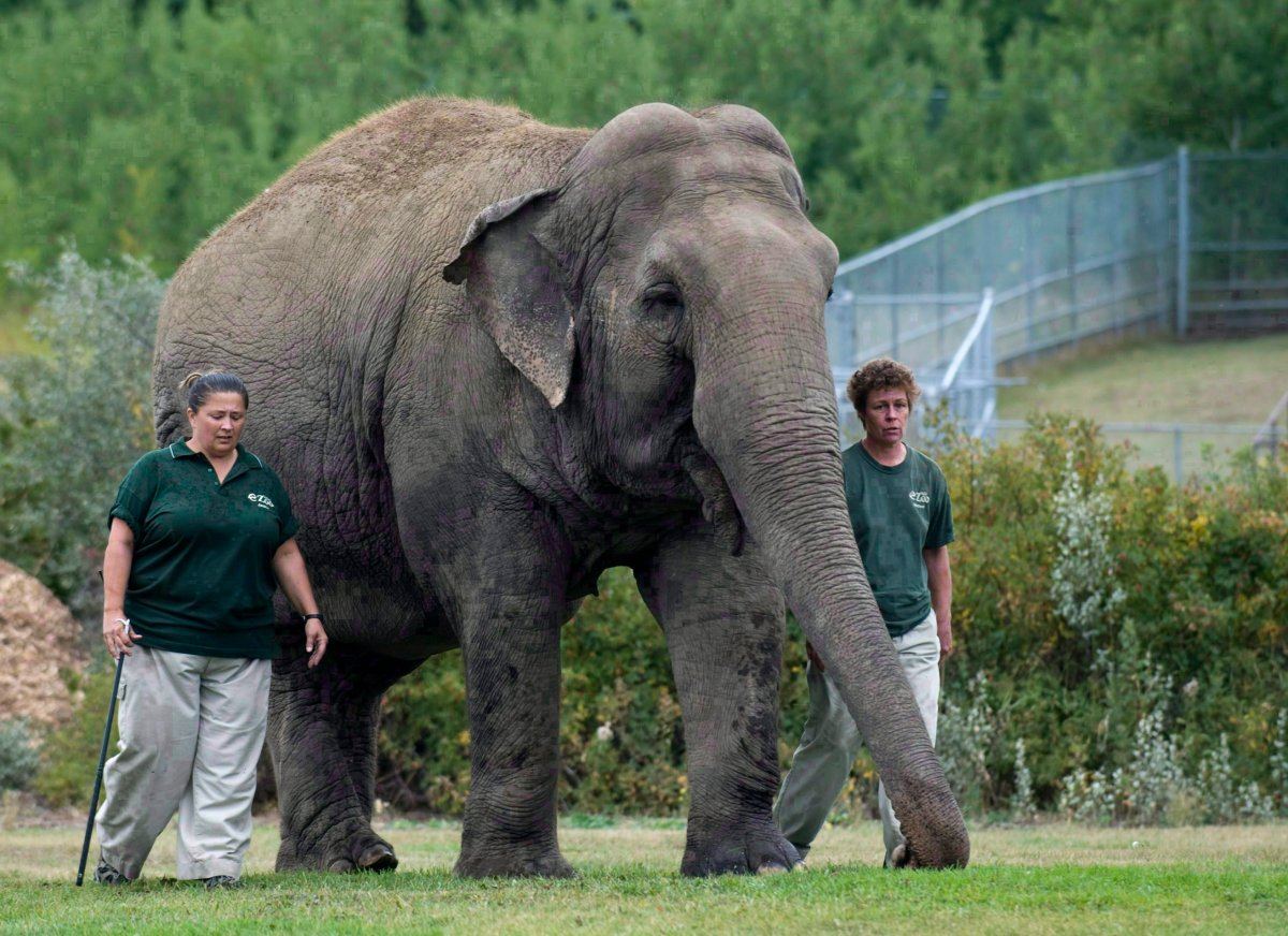 Lucy the elephant walks with her handlers at Edmonton's River Valley Zoo on September 17, 2009.
