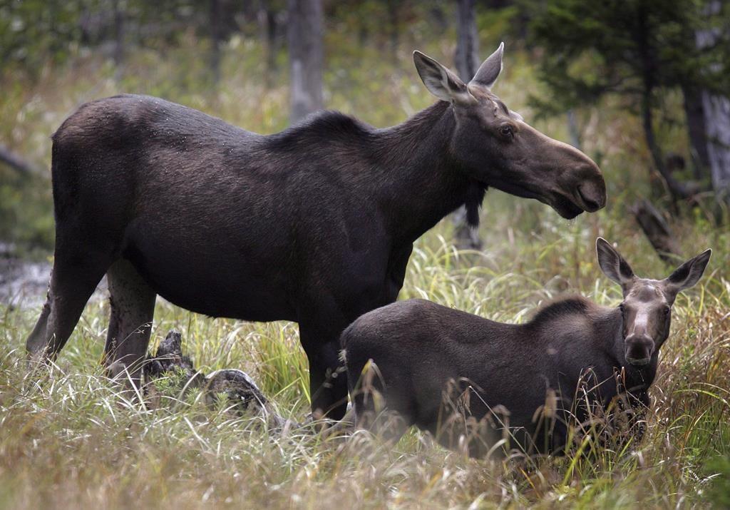 Moose graze in Franconia, N.H. in an Aug.21, 2010.