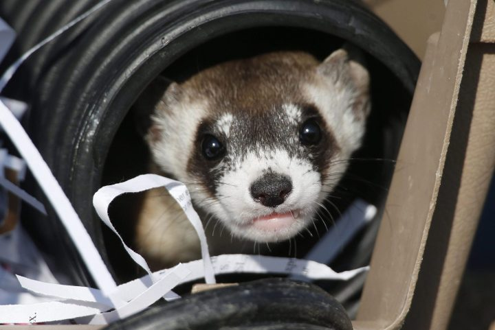 File - In this Monday, Oct. 5, 2015, file photo, a black-footed ferret looks out of a crate used to take it to a site to be let loose during a release of 30 of the animals by the U.S. Fish and Wildlife Service at the Rocky Mountain Arsenal National Wildlife Refuge in Commerce City, Colo. Dozens of slinky, ferocious and rare ferrets are settling in and making babies at a wildlife refuge outside Denver one year after they were released there.  (AP Photo/David Zalubowski, File).