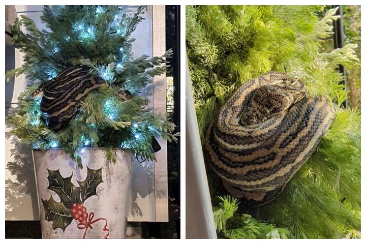 A python is shown in Leanne Chapman's outdoor Christmas tree in Brisbane, Australia on Dec. 12, 2019.