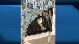 Continue reading: Rescued cats from emptying Newfoundland town will soon be ready for adoption