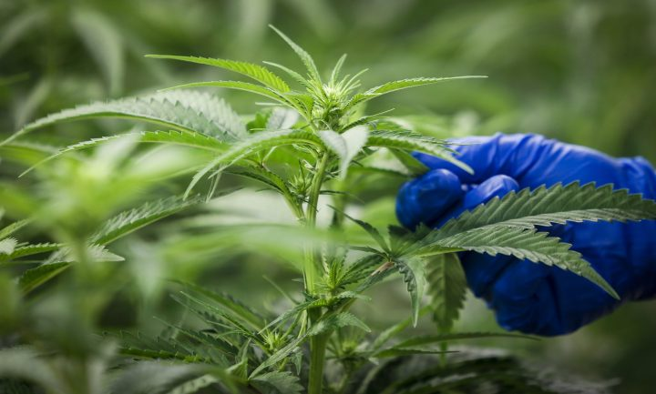 FILE -- Cannara Biotech Inc. said it has received a cannabis cultivation licence from Health Canada.