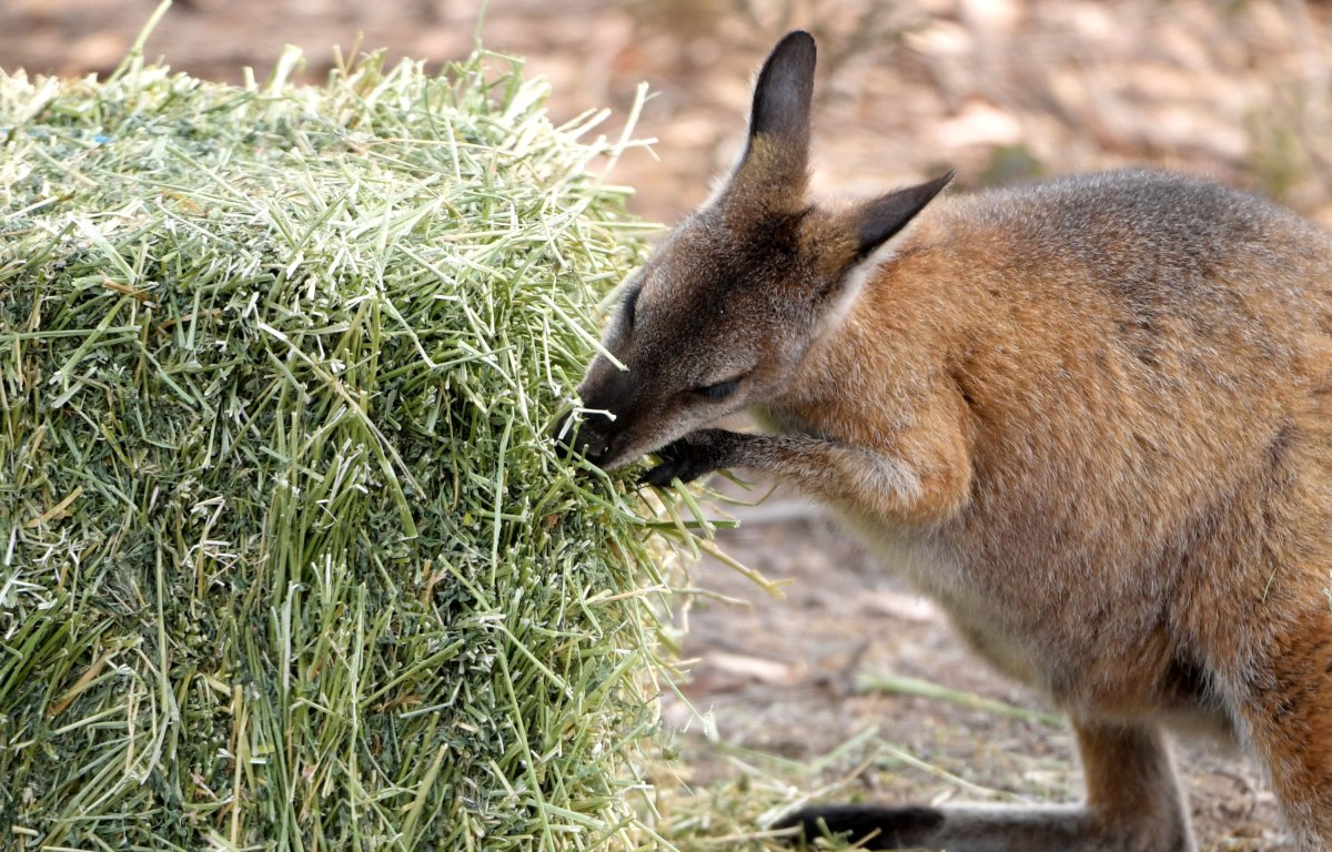 Carrots Sweet Potatoes Airdropped For Australia S Wallabies As Wildfires Continue To Burn National Globalnews Ca