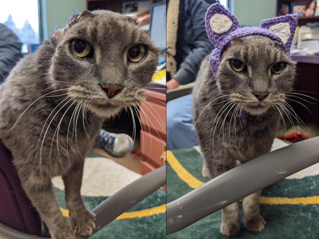 A shelter cat named Lady received crocheted ears after having her ear flaps removed due to infection.