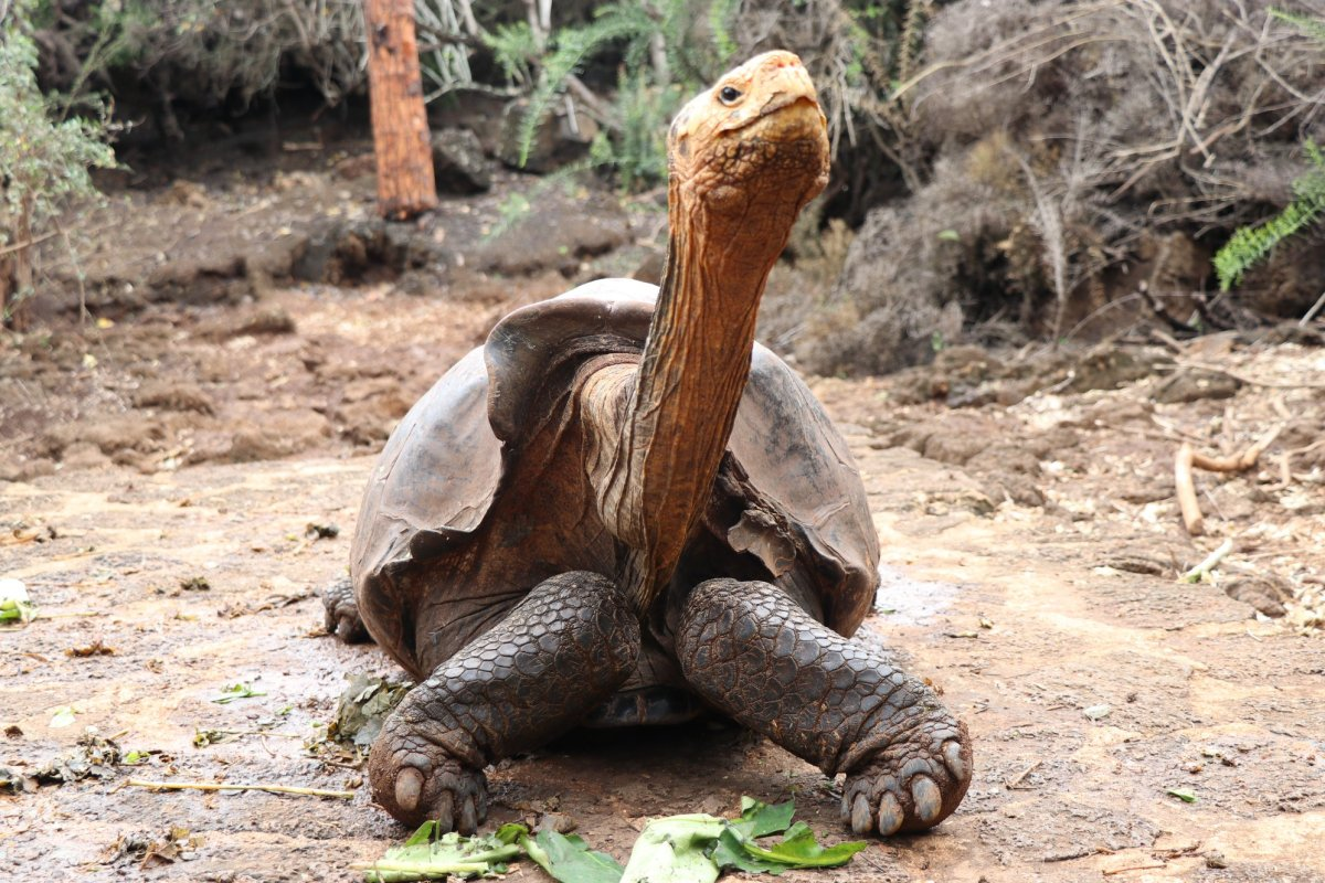 Diego the male Espanola Island giant tortoise is shown on Santa Cruz Island.