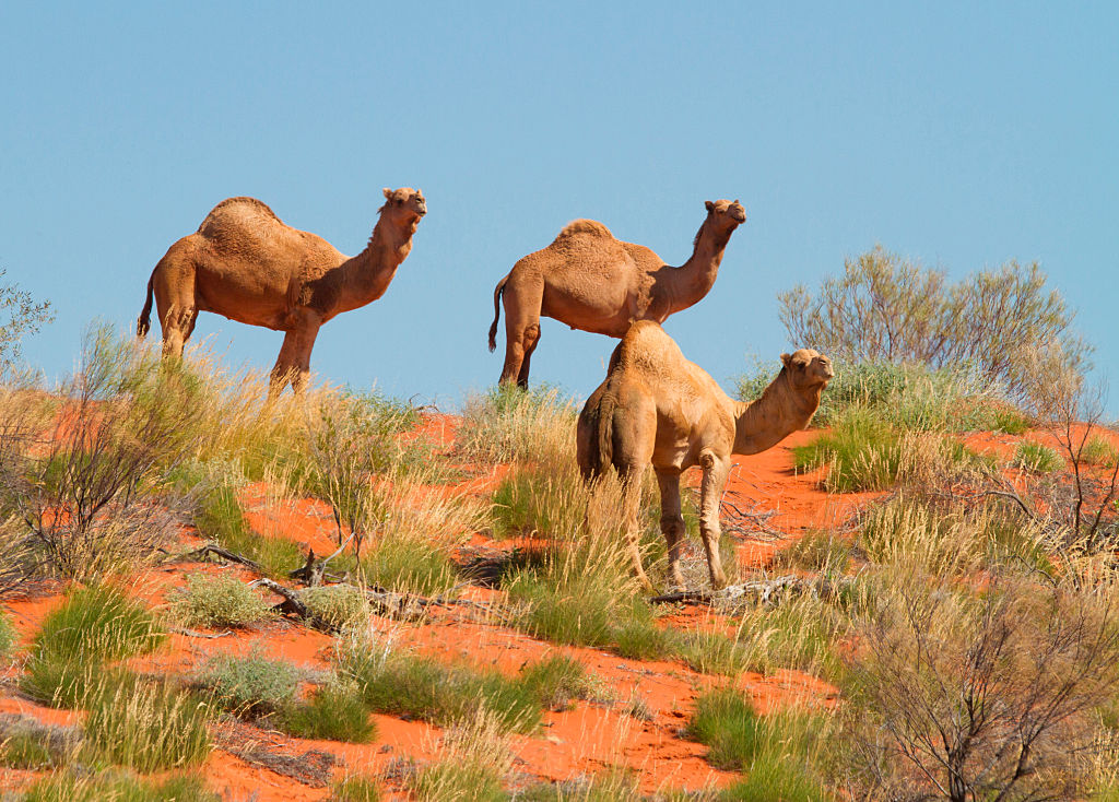 Feral camels are pictured walking in Boulia, central west Queensland, Australia.