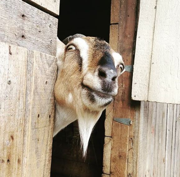 The goats at Aurora Farm are hungry for your Christmas trees.