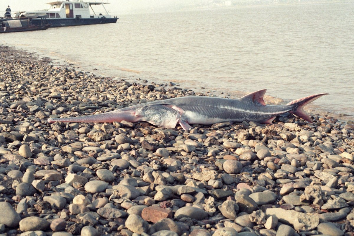 The Chinese paddlefish is shown in this undated file photo.
