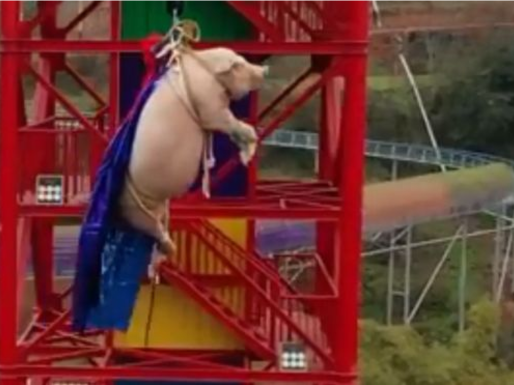 Disturbing video footage of a pig being forced to bungee jump went viral on Chinese social media site Weibo on Sunday.