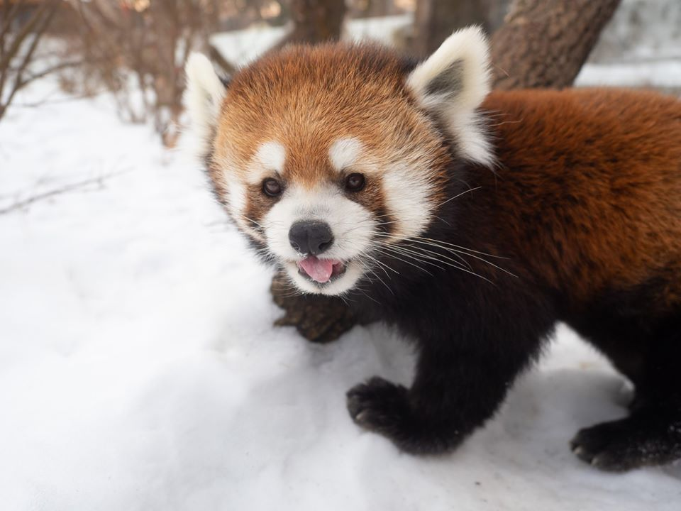 Pip the red panda passed away at the Edmonton Valley Zoo on Jan. 8, 2020.