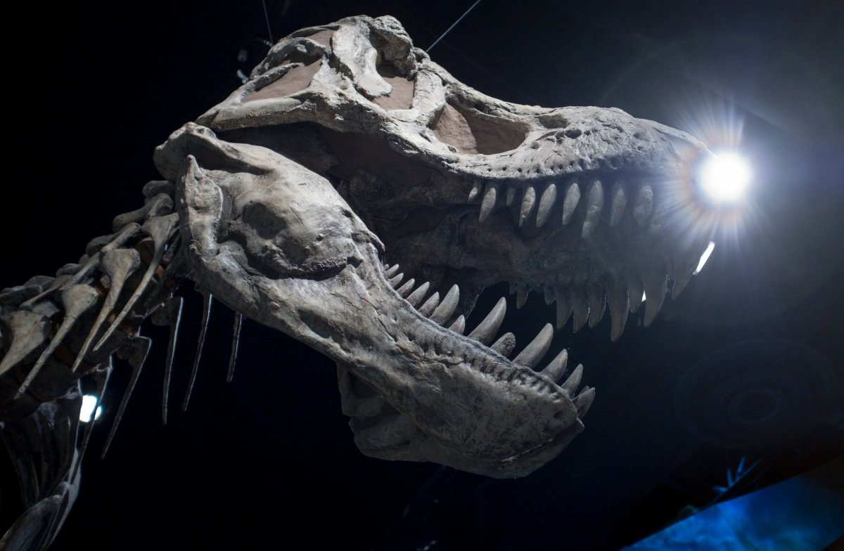 The skull of a Tyrannosaurus rex at the Royal Tyrrell Museum in Drumheller, Alta., Friday, Oct. 26, 2018.
