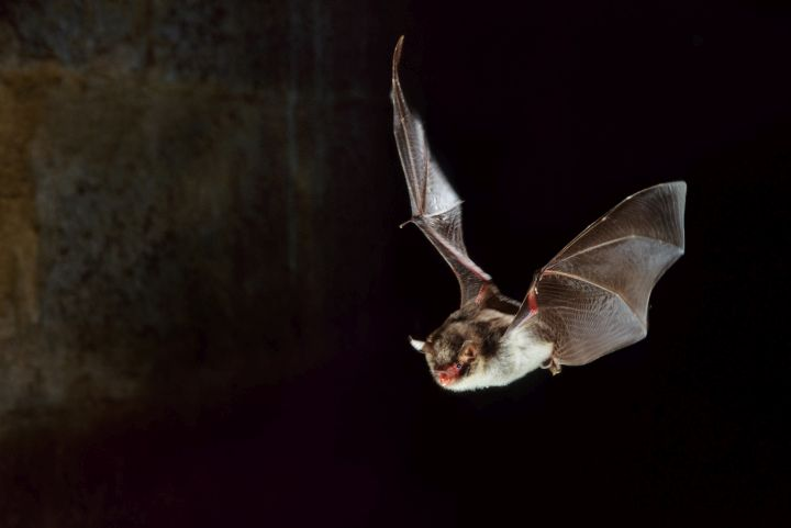 Bats have been linked to many human diseases.