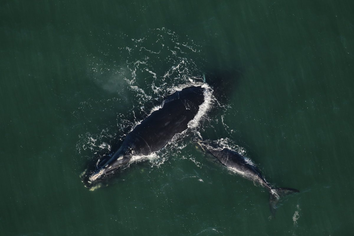 Calvin the North Atlantic right whale and her calf were recently seen swimming off the coast of Georgia.