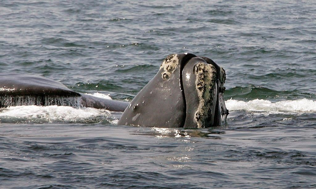 The head of a North Atlantic right whale peers up from the water as another whale passes behind in Cape Cod Bay near Provincetown, Mass. on April 10, 2008.