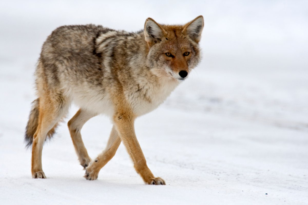 A roaming coyote.
