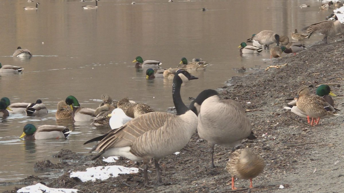 Vernon City Council is divided on the idea of a goose cull.