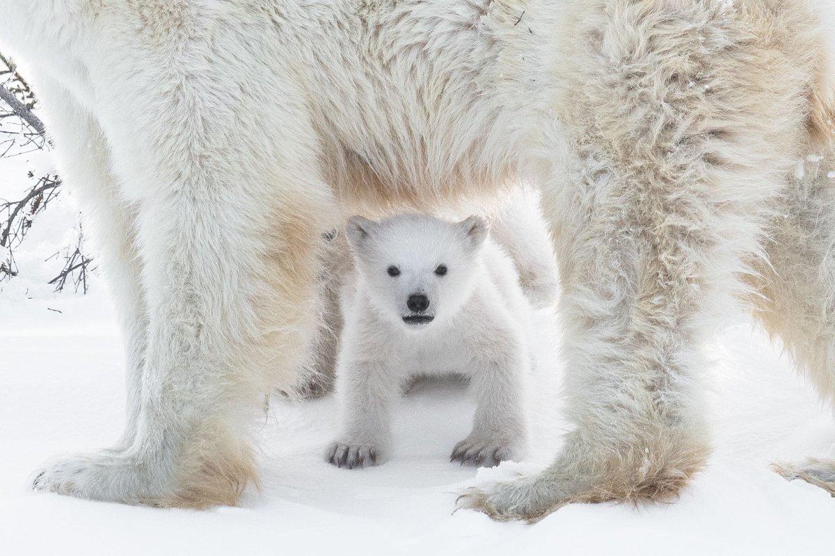 Polar bears in the Wapusk National Park, Churchill, Canada.