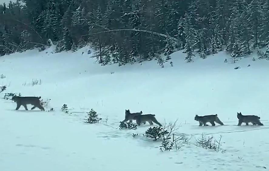 Manitoba Hydro employee Shaun Kirchmann filmed a family of lynx crossing the highway near Grand Rapids, Man.