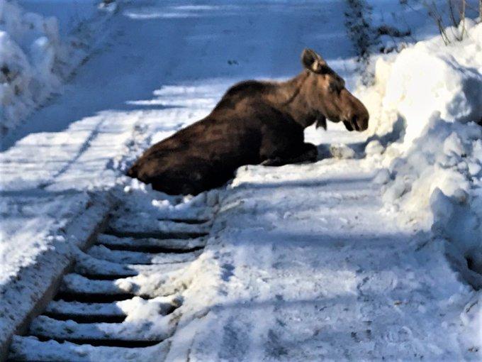 A young cow moose's hind legs slid through the rungs of a bridge near Peachland.