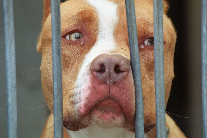 A pit bull-type dog is shown at a kennel in this file photo.