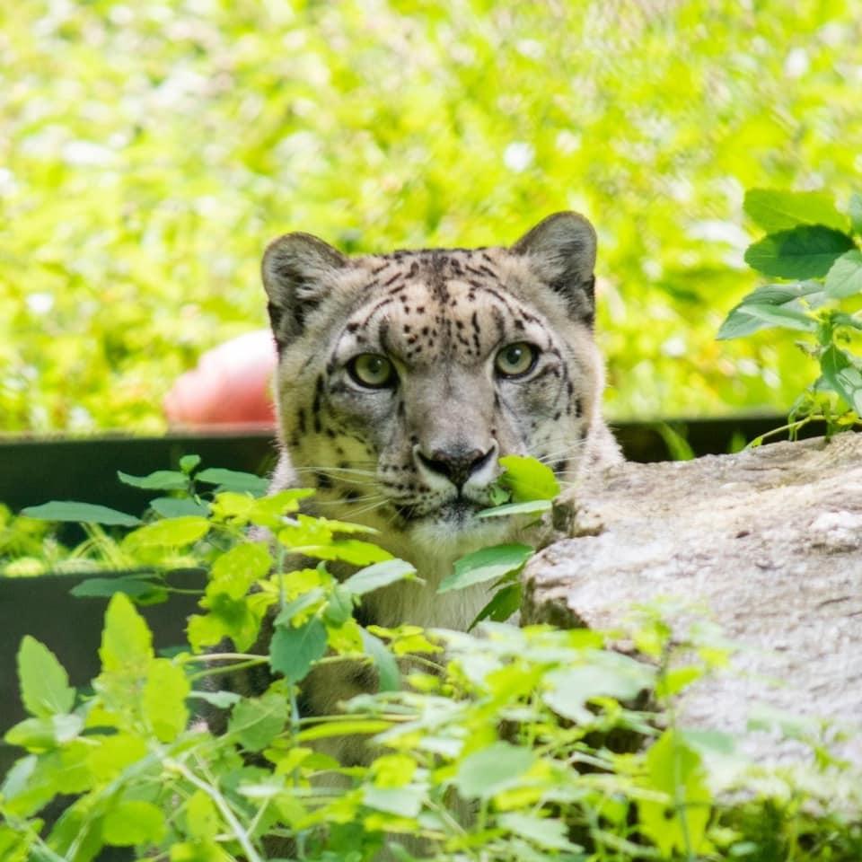 Lexie, the snow leopard.