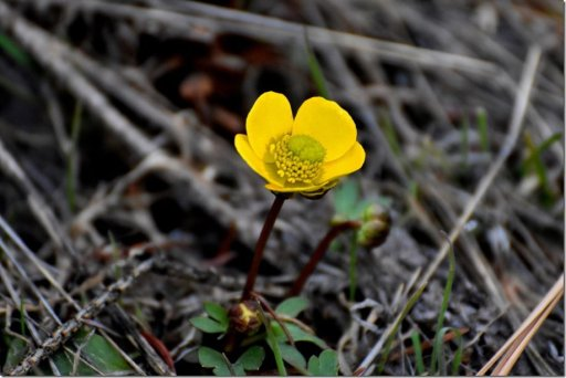 First Buttercup – Keiko Hiegert