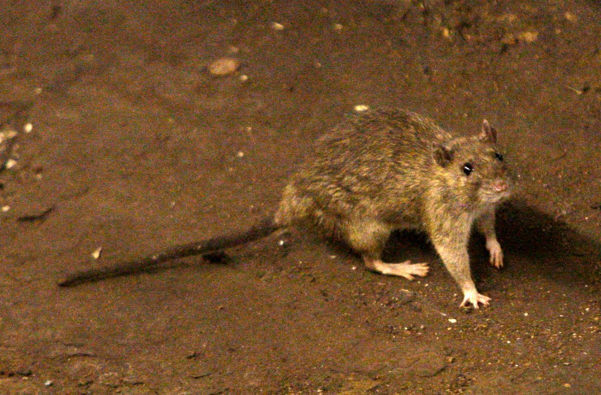 Vancouver, Victoria and Burnaby were named as B.C.'s top three cities in Orkin Canada's annual 'rattiest cities' list for 2020.
