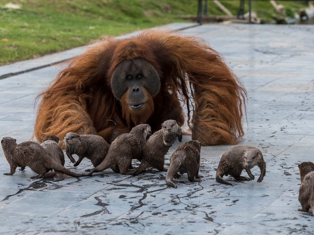 A family of orangutans took a particular fondness for a crew of otters at Belgian zoo Pairi Daiza.