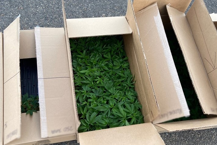 Kindersley cannabis seizure