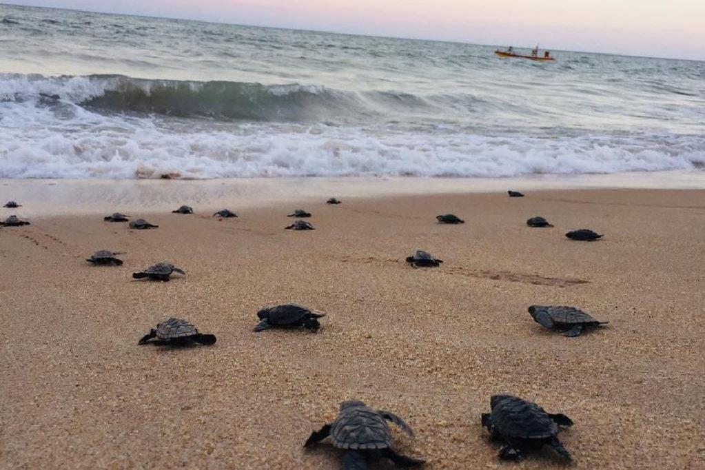 A hawksbill sea turtle hatchling crawls toward the ocean on Janga Beach in Paulista, Brazil, on March 22, 2020.