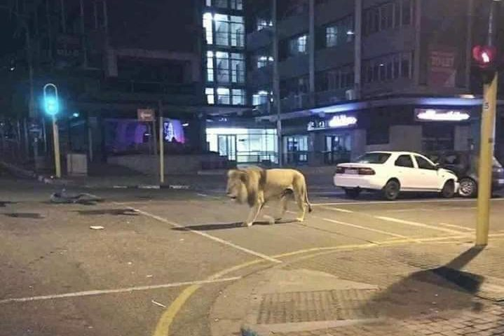 This photo used in a viral hoax shows a lion in Johannesburg, South Africa, in April 2016.