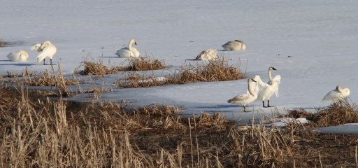 Trumpeter Swans on Otter Lake – Judi Folk
