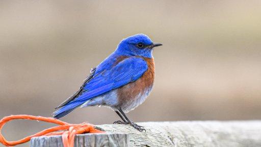 Western bluebird – Meghann Fletcher