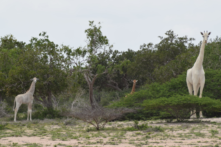 Two white giraffes are shown in Kenya's Ishaqbini conservancy in this 2017 image.