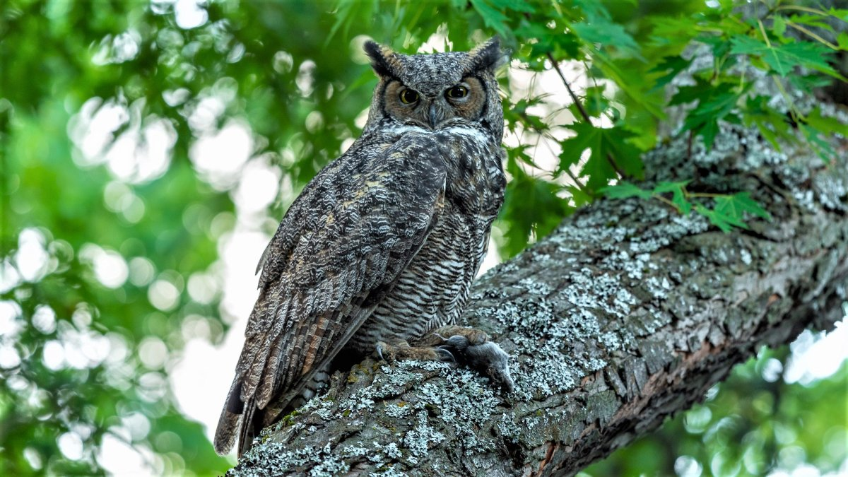Great Horned Owl With Mouse.