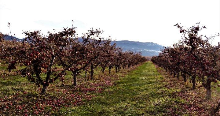 Many Okanagan apple farmers are facing this year's harvest short handed