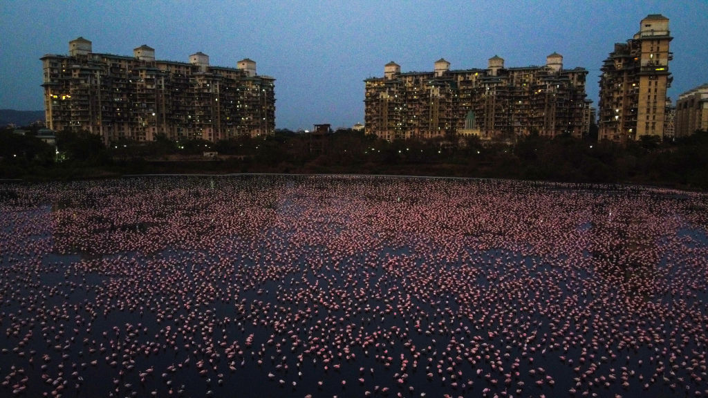 Flamingos are seen in huge numbers behind NRI colony in Talawe wetland, Nerul, during nationwide lockdown due to the coronavirus, on April 18, 2020 in Mumbai, India.