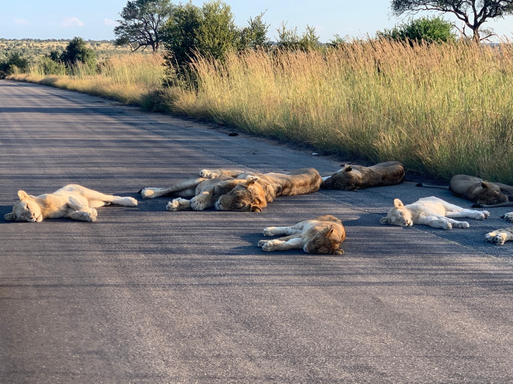 As tourism slows down in South Africa due to COVID-19, a lion pride took a cat nap in the middle of a road.