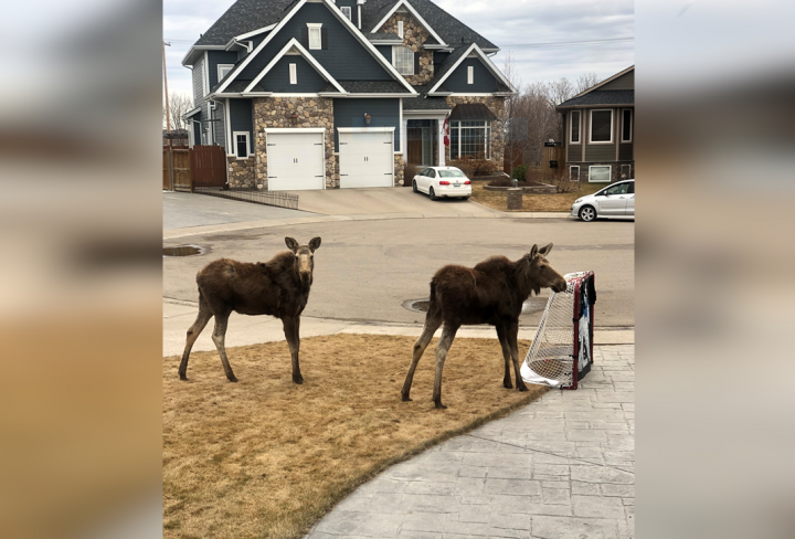 Two young moose were seen wandering residential streets of Saskatoon Thursday morning.