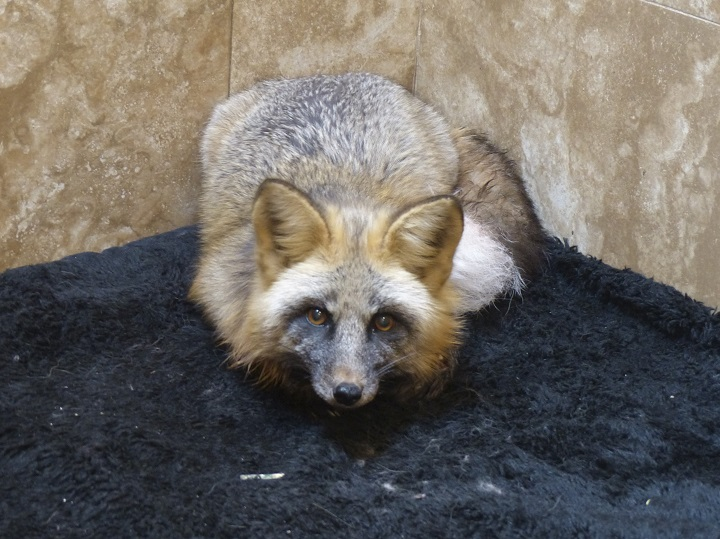 The injured fox was found near Houston, B.C., and is currently under the care of the Northern Lights Wildlife Society.