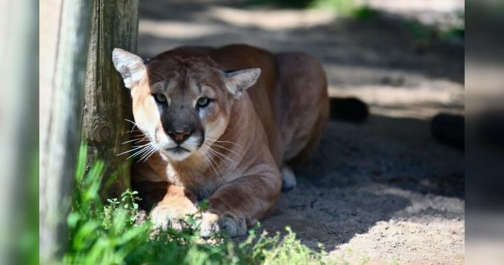 Cougar sighting prompts warning for visitors in parts of Calgary's Fish Creek Park – Calgary