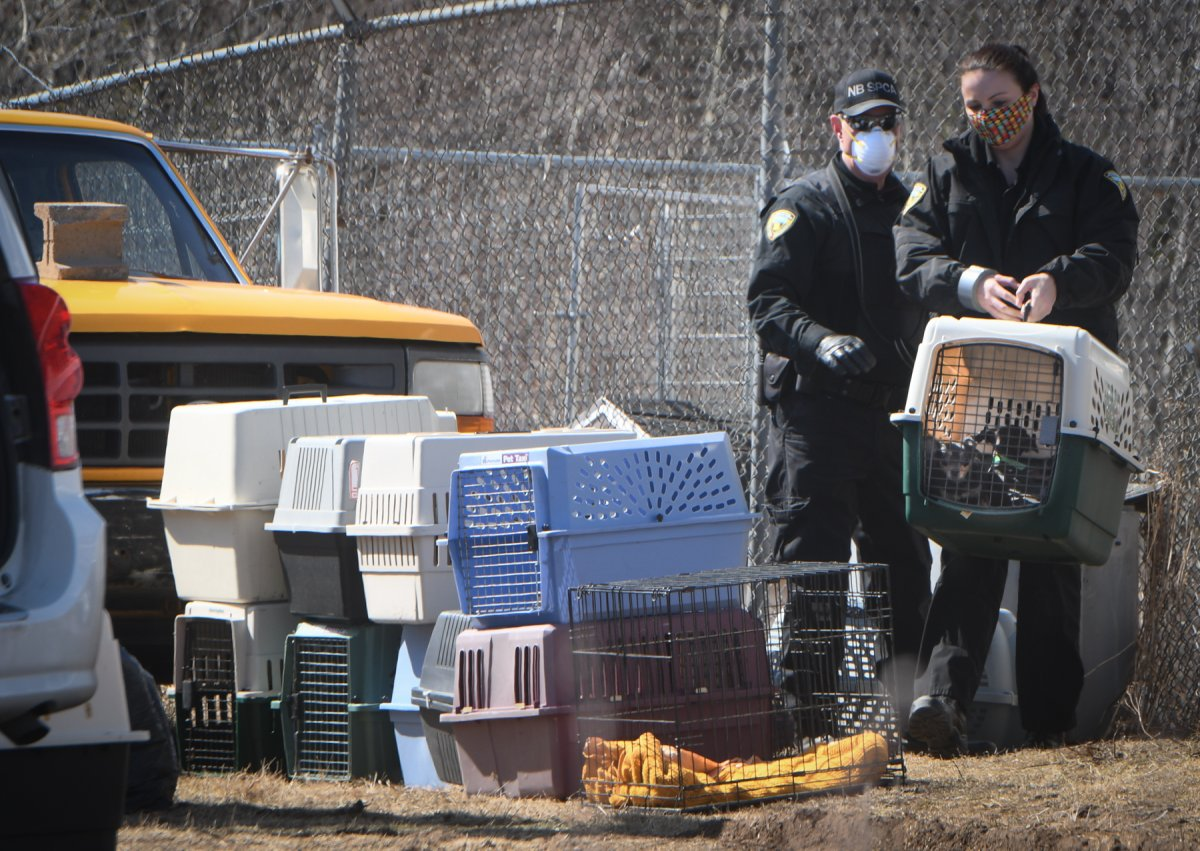 NB SPCA animal control officers seized over 60 dogs from a property in Escuminac, N.B. Tuesday.