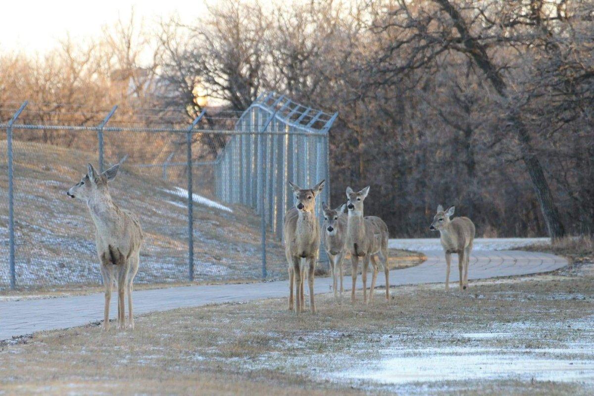 FILE: A herd of deer roam along a pathway at Assiniboine Park.