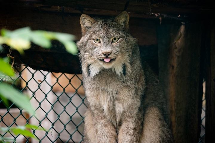 Xena, one of the zoo's Canadian lynx.