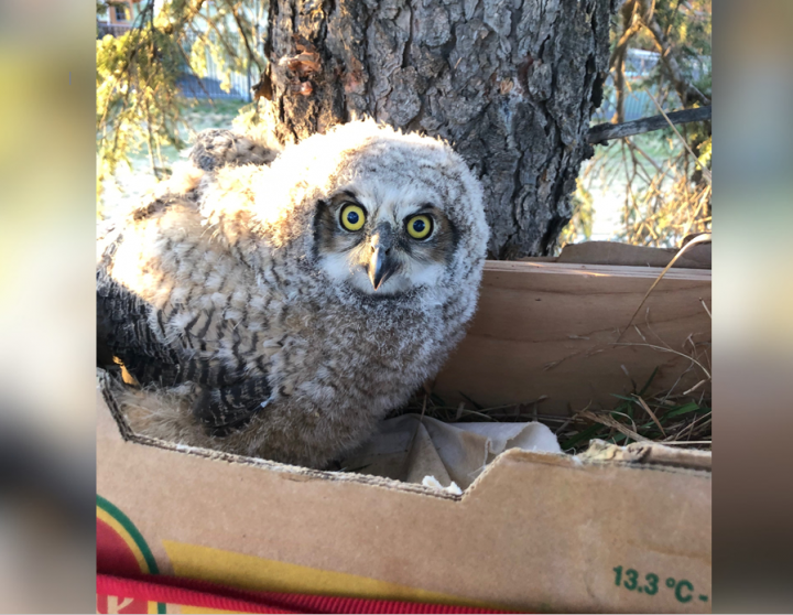 A new nest was built for a family of great horned owls in Saskatoon.