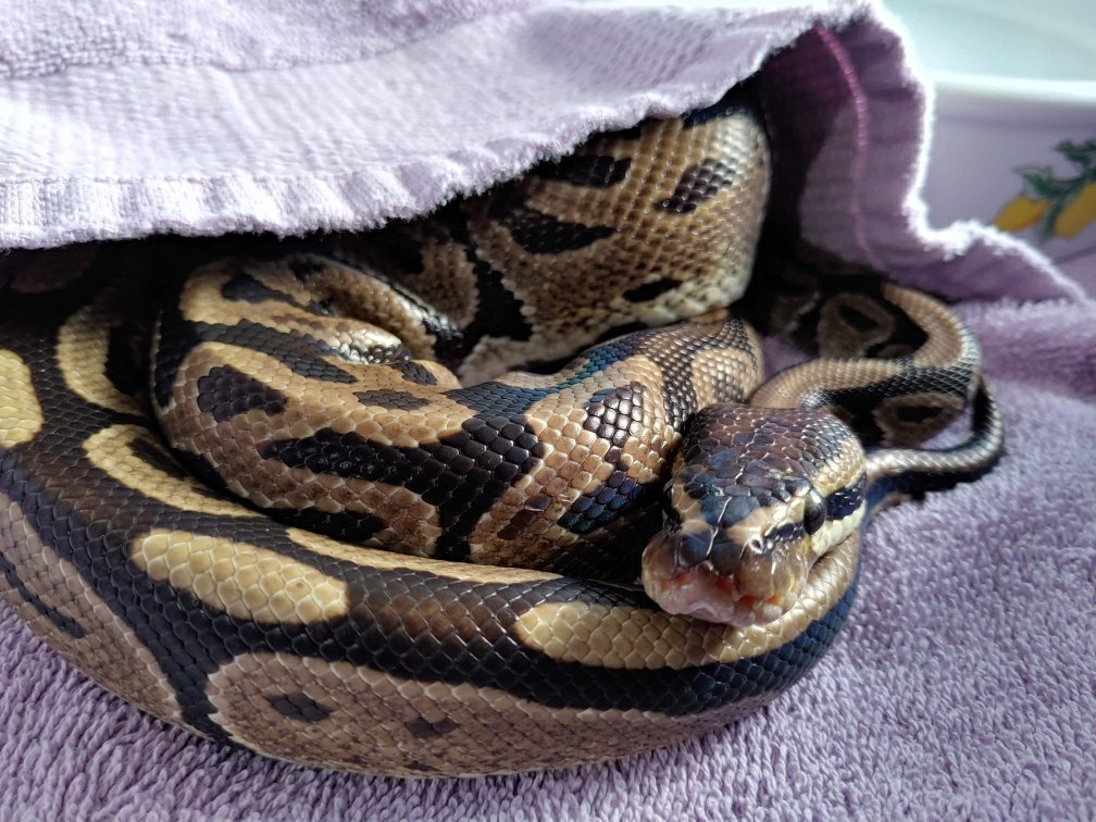 The snake was found apparently abandoned in Surrey's Tynhead Park on Thursday.