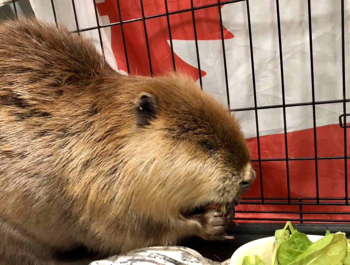 The beaver found wandering on Broad Street in Regina on May 2 has been released into the wild.