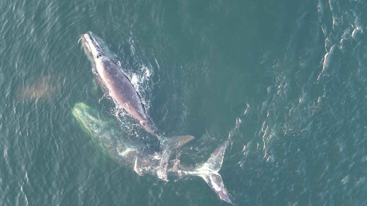 Image of the two calves spotted in the gulf of St. Lawrence.