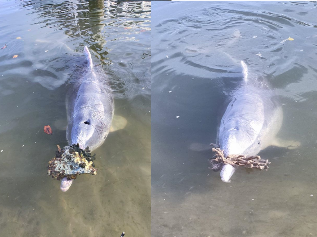 Queensland dolphins have been bringing their human friends gifts at Barnacles Café & Dolphin Feeding.