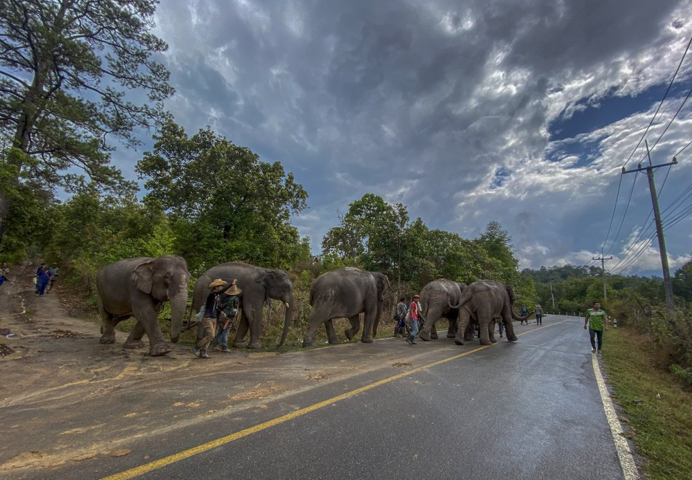 In this Thursday, April 30, 2020, photo provided by Save Elephant Foundation, a herd of 11 elephants are guided along a paved road during a 150-kilometer (93 mile) journey from Mae Wang to Ban Huay in northern Thailand. Save Elephant Foundation are helping elephants who have lost their jobs at sanctuary parks due to the lack of tourists from the coronavirus pandemic to return home to their natural habitats.